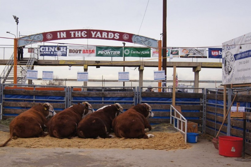 4V Ranch Douthit Herefords