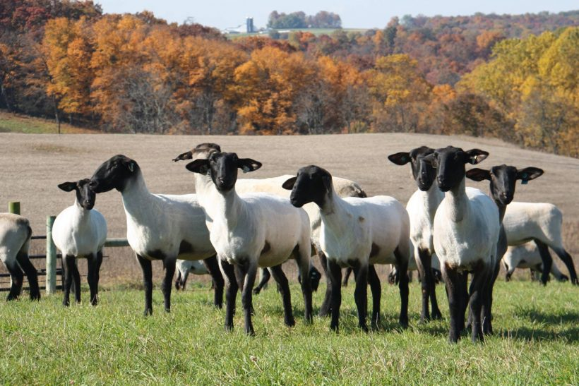 United Suffolk Sheep Association